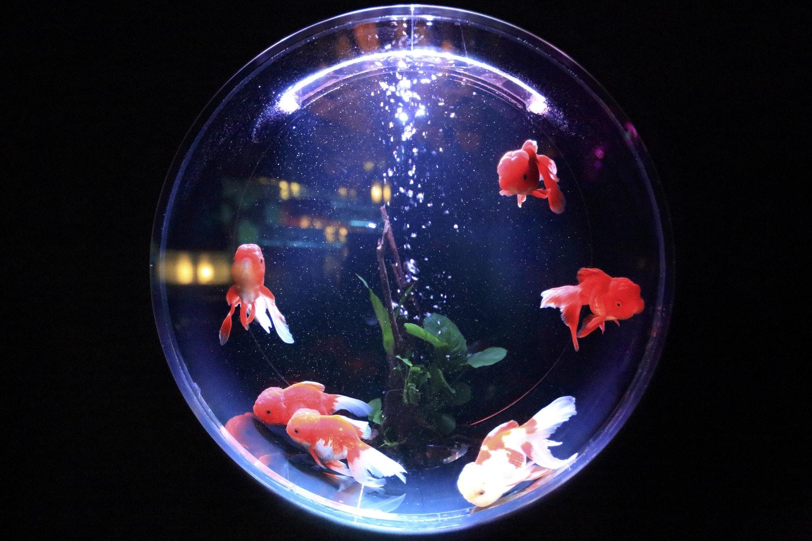Pesce rosso - i consigli d'oro 2