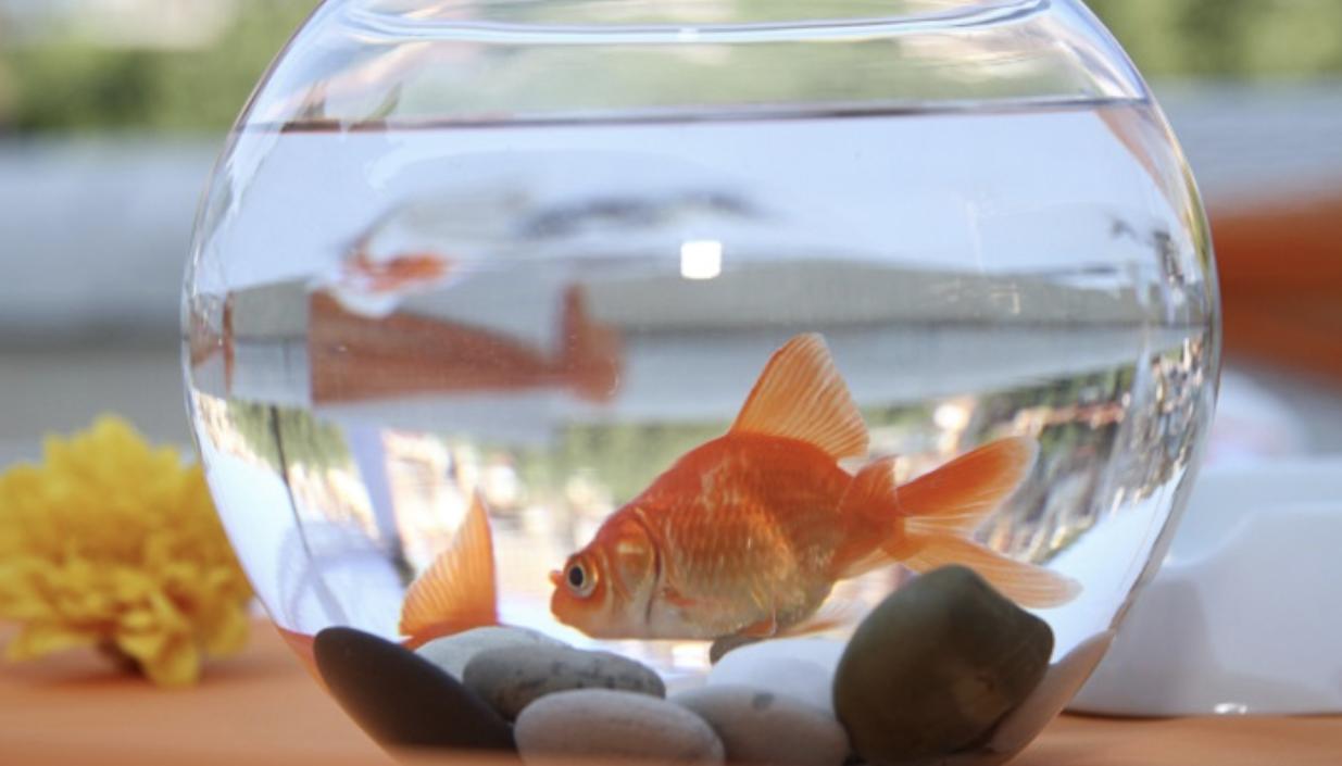 Pesce rosso - i consigli d'oro