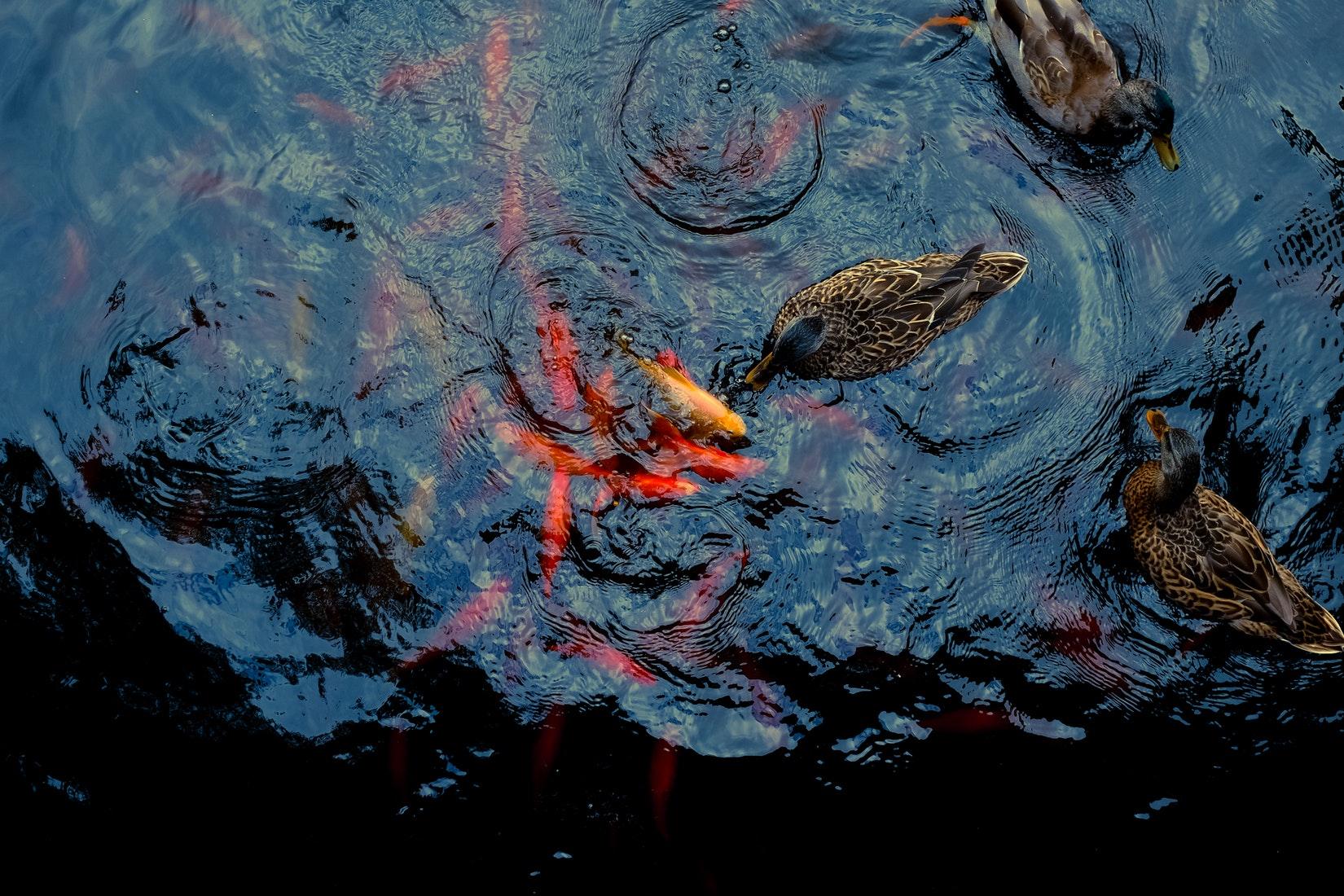 Pesce rosso i consigli d 39 oro per il benessere del tuo pesce for Quanto vive un pesce rosso
