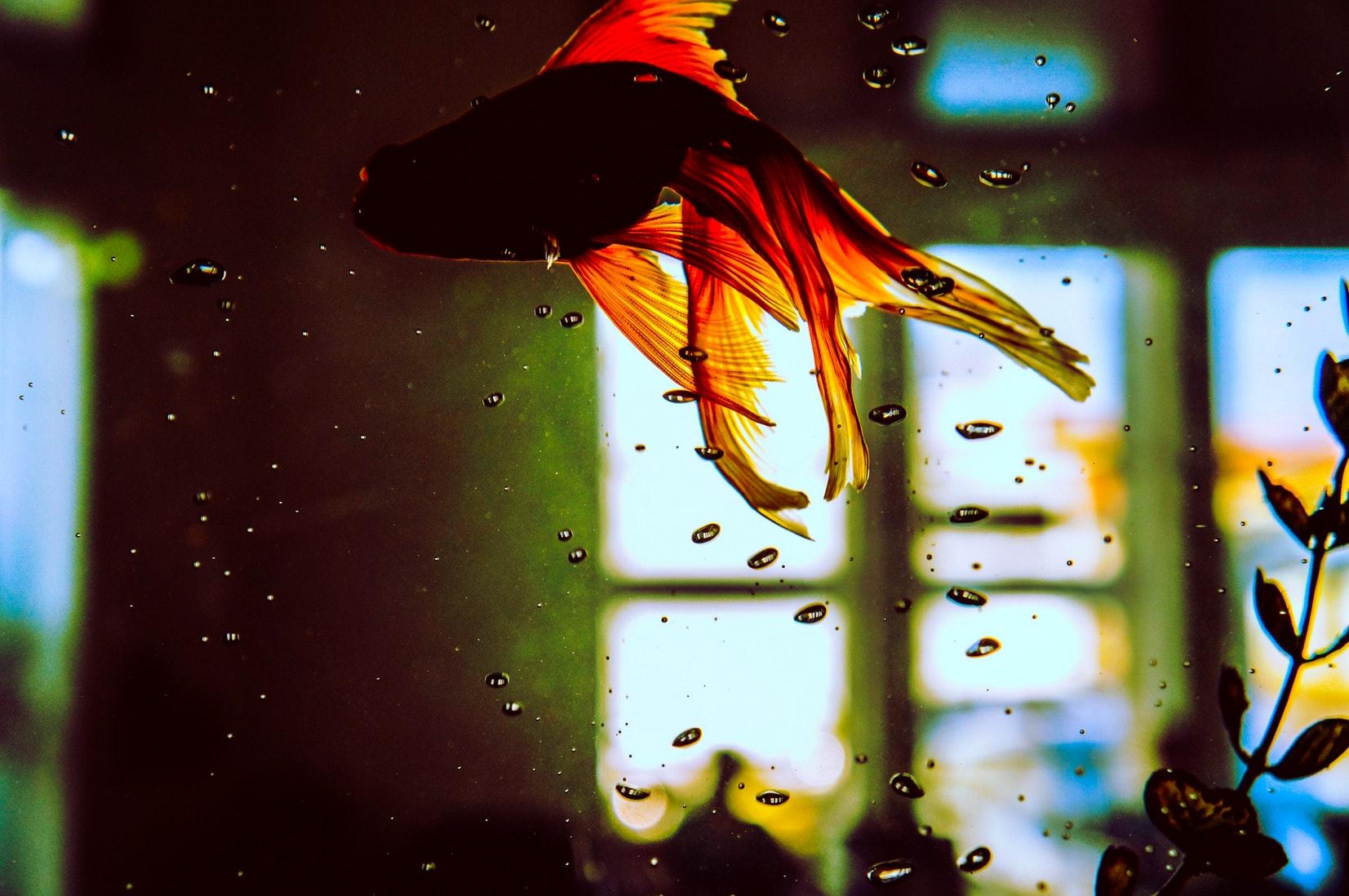 Pesce rosso - i consigli
